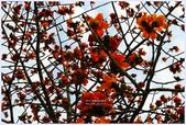 2012-木棉花的春天:P1520334.JPG