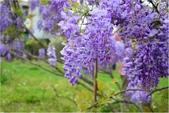 2015 紫藤咖啡園:DSC_2391.JPG