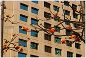 2012-木棉花的春天:P1520351.JPG