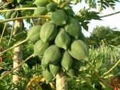 1:木瓜-果1.JPG