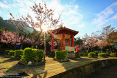 20150125-新北市。屈尺櫻花公園櫻花季: