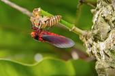 昆蟲:IMGP8039-11.jpg