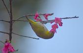 櫻、鳥:IMGP4235-11.jpg