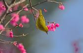 櫻、鳥:IMGP4238-11.jpg