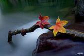 紅葉樹:IMGP8231-11.jpg