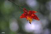 紅葉樹:IMGP0209-1.jpg