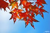 紅葉樹:IMGP9192-11.jpg