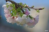春櫻:IMGP3117-11.jpg