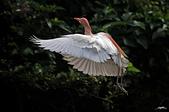 白鷺鷥與夜鷺及黃頭鷺:IMGP4227-11.jpg