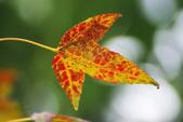 紅葉樹:IMGP9227-11.jpg