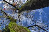 紅葉樹:IMGP8378-11.jpg
