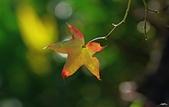 紅葉樹:IMGP2988-1.jpg