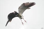 白鷺鷥與夜鷺及黃頭鷺:IMGP4188-11.jpg
