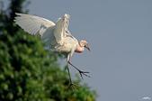 白鷺鷥與夜鷺及黃頭鷺:IMGP5456-1.jpg