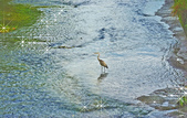 白鷺鷥與夜鷺及黃頭鷺:IMGP7672-1.jpg