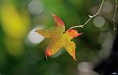 紅葉樹:IMGP2989-1.jpg