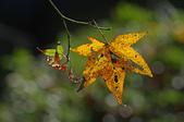 紅葉樹:IMGP4544-1.jpg