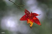 紅葉樹:IMGP0210-11.jpg
