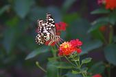昆蟲:IMGP0962-11.jpg