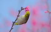 櫻、鳥:IMGP4277-11.jpg