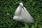白鷺鷥與夜鷺及黃頭鷺:IMGP1897-11.jpg