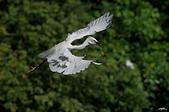 白鷺鷥與夜鷺及黃頭鷺:IMGP5944-11.jpg