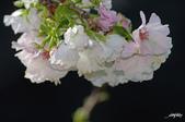春櫻:IMGP3122-11.jpg