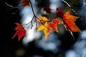 紅葉樹:IMGP1286-11.jpg