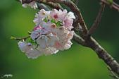 春櫻:IMGP3104-11.jpg