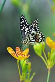 昆蟲:IMGP1682-11.jpg