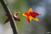 紅葉樹:IMGP0430-11.jpg