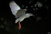 白鷺鷥與夜鷺及黃頭鷺:IMGP3234-1.jpg