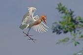 白鷺鷥與夜鷺及黃頭鷺:IMGP5929-11.jpg