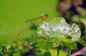 昆蟲:IMGP3337-11.jpg