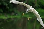 白鷺鷥與夜鷺及黃頭鷺:IMGP4306-1.jpg