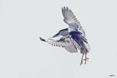 白鷺鷥與夜鷺及黃頭鷺:卡門