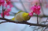 櫻、鳥:IMGP4195-11.jpg
