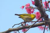 櫻、鳥:IMGP3576-11.jpg