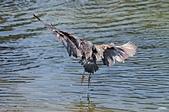 白鷺鷥與夜鷺及黃頭鷺:IMGP2421-1.jpg