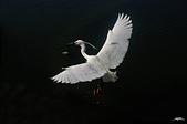 白鷺鷥與夜鷺及黃頭鷺:IMGP1293-11.jpg