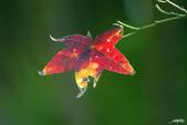 紅葉樹:IMGP0439-11.jpg