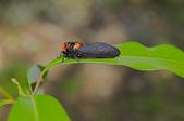 昆蟲:IMGP8093-11.jpg
