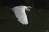白鷺鷥與夜鷺及黃頭鷺:IMGP5915-1.jpg