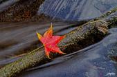 紅葉樹:IMGP7945-11.jpg