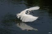 白鷺鷥與夜鷺及黃頭鷺:
