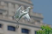 白鷺鷥與夜鷺及黃頭鷺:IMGP6649-1.jpg