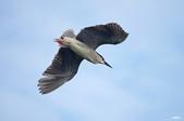 白鷺鷥與夜鷺及黃頭鷺:IMGP3399-111.jpg