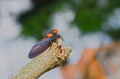 昆蟲:IMGP8140-11.jpg