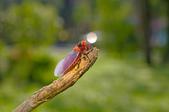 昆蟲:IMGP8324-11.jpg
