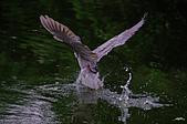 白鷺鷥與夜鷺及黃頭鷺:IMGP3446-11.jpg